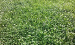 B Paddocks have high clover content