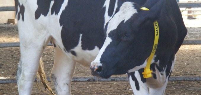 Cow Collars