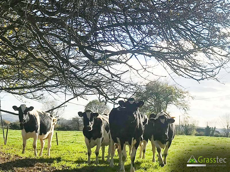 Cull Cows WANTED