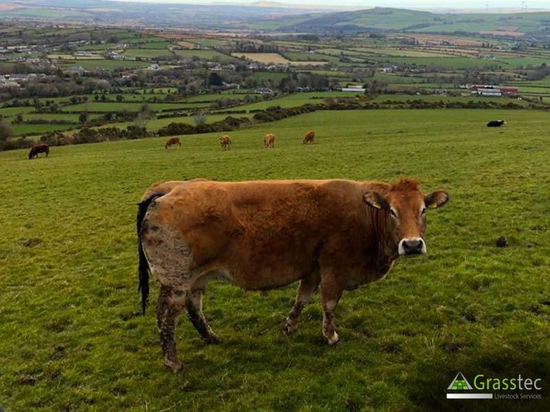 Pedigree Parthenais Cows For Sale