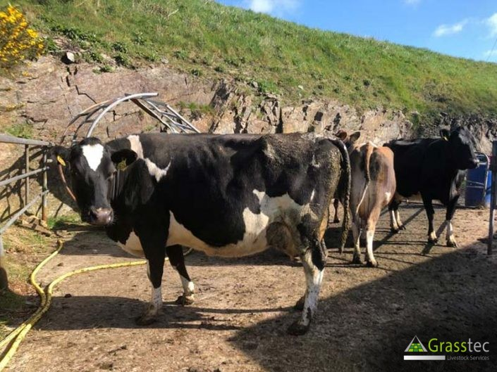 Summer Calving Cows for sale 3
