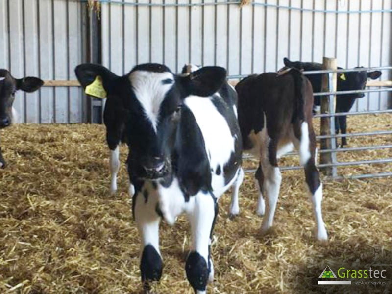 32 Jersey/NZ Fr/Fr Calves for sale in the UK 1