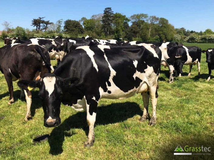 45 Br/Irish Fr In Calf Cows for sale in the UK 5