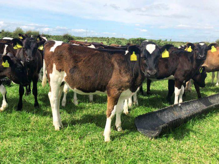 200 Jersey/NZ Fr/Fr Calves 1