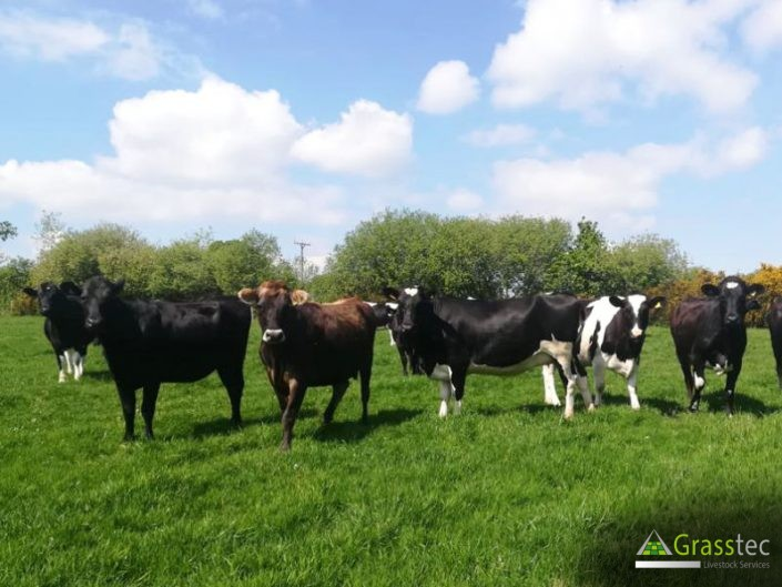 28 Jersey/NZ Fr/Fr In Calf Heifers for sale in the UK 1