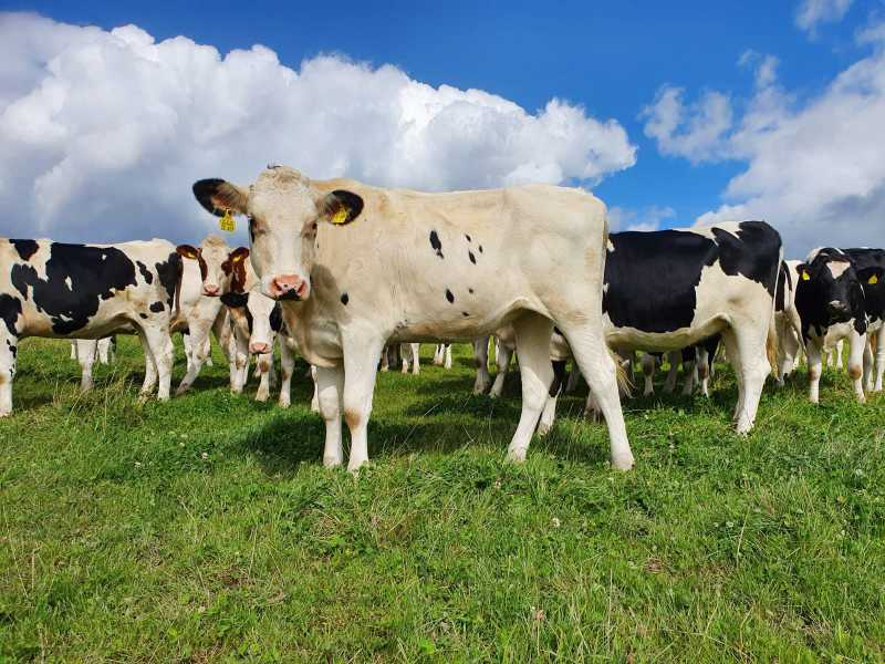 37 Holstein In Calf Heifers for sale in the UK 1