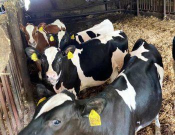 50 Hol/Fr Calves for sale in Germany 1
