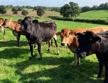 190 Jersey/NZ Fr/Fr In Calf Heifers for sale in the UK 1