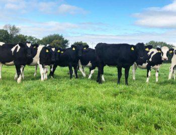 34 Br/Irish Fr Calves 1