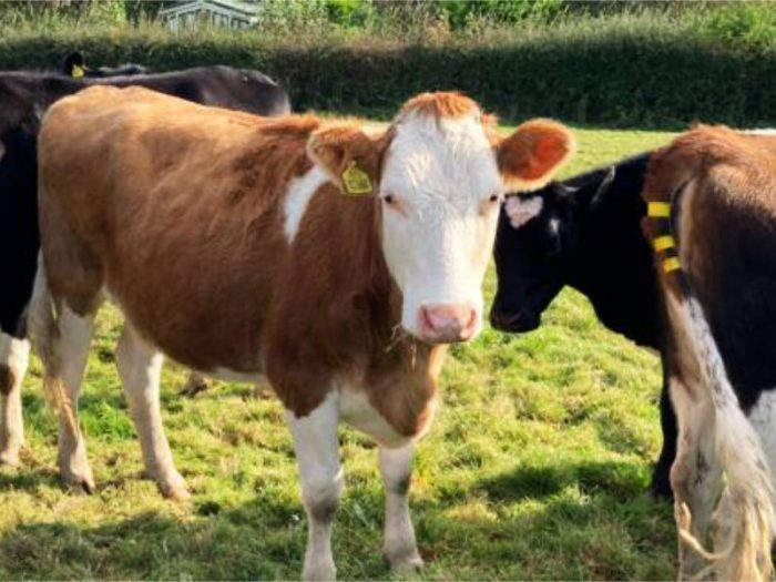 20 JEX In Calf Heifers for sale in the UK 1