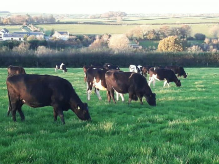 30 JEX In Calf Heifers for sale in the UK 2