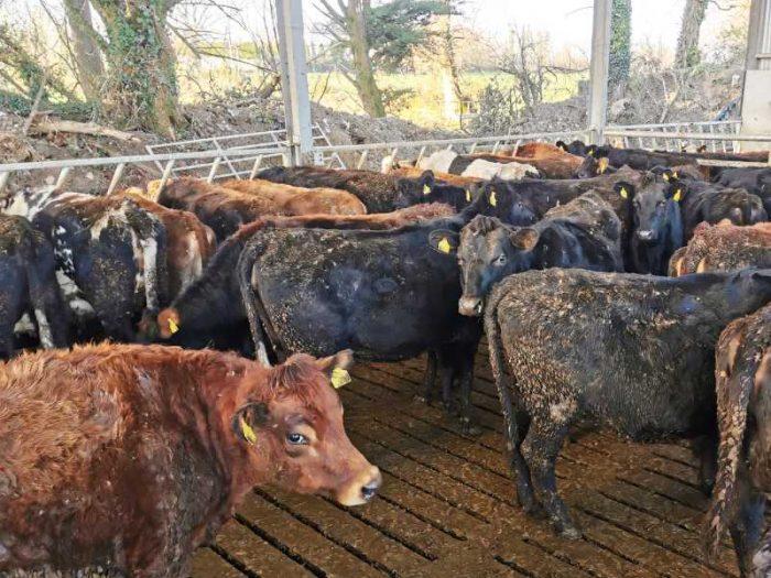 35 JEX In Calf Heifers 1