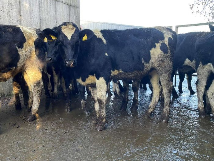 18 Hol/Fr Bulling Heifers 1