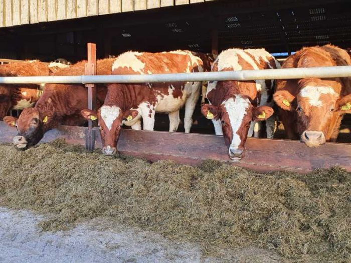 18 Danish Red In Calf Heifers for sale in the UK 1