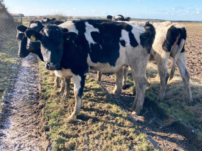 29 Hol/Fr Bulling Heifers for sale in the UK 2