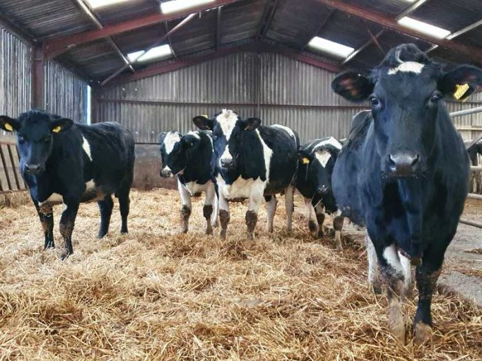 35 Nz Fr In Calf Heifers for sale in the UK 1