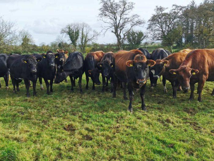 90 JEX In Calf Heifers 1