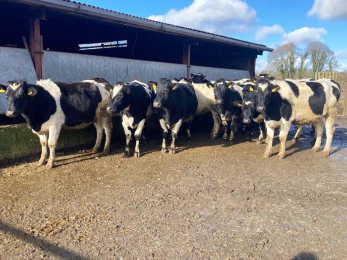15 BF/Dairy Shorthorn x In Calf Heifers 1
