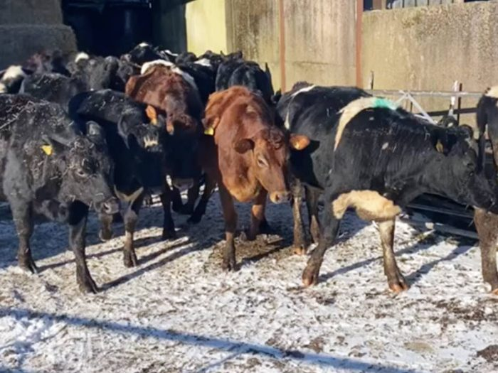 20 JEX In Calf Heifers for sale in the UK 2