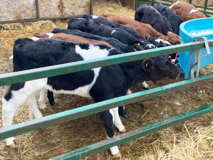75 JEX Calves for sale in the UK 1