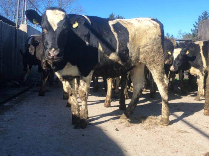 10 Br/Irish Fr Bulling Heifers 1