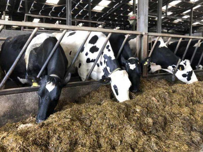 12 Hol/Fr In Calf Cows & Heifers 1