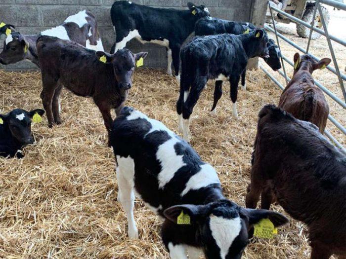15 JEX Calves UK 1