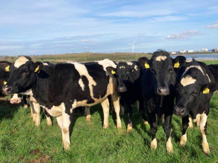 18 Hol/Fr Bulling Heifers 3