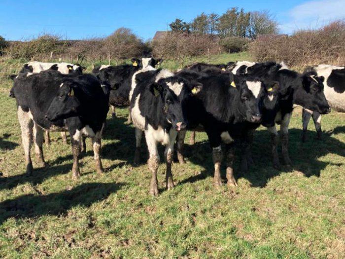 19 Br/Irish Fr Bulling Heifers for sale in the UK 2