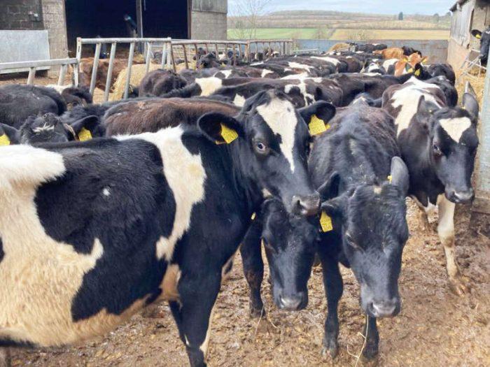 20 JEX Bulling Heifers for sale in the UK 1