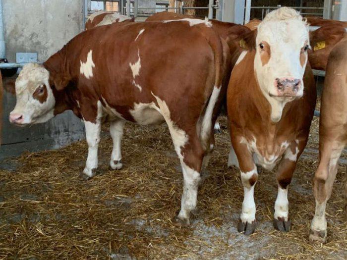 35 Fleckvieh In Calf Heifers Germany 1