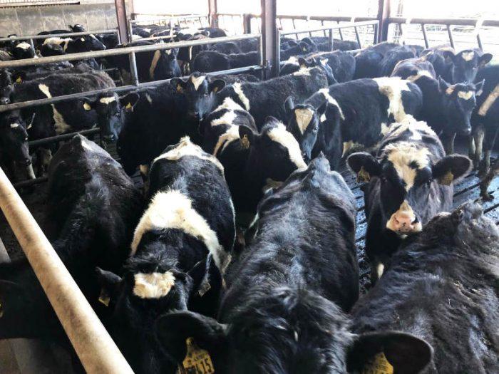 38 Br/Irish Fr Bulling Heifers 1