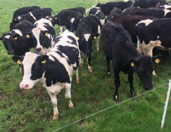 49 Hol/Fr Bulling Heifers 1