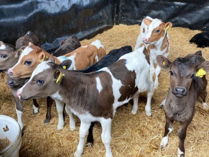 50 JEX Calves for sale in the UK 1