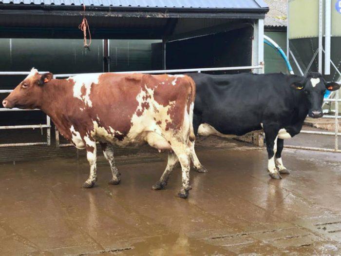7 Hol/Fr Calved/In Calf Cows 1