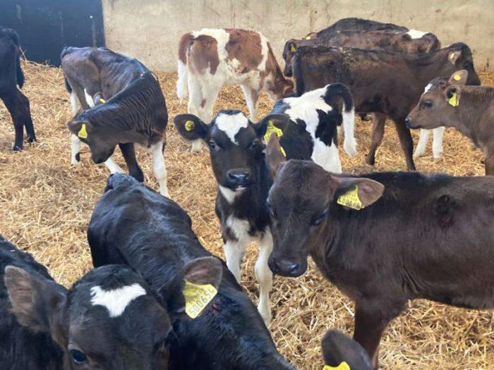 150 JEX Calves UK 1