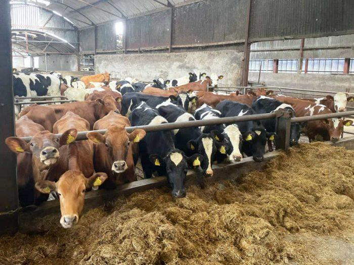 35 Swedish Red/Hol Bulling Heifers N.Ireland 1