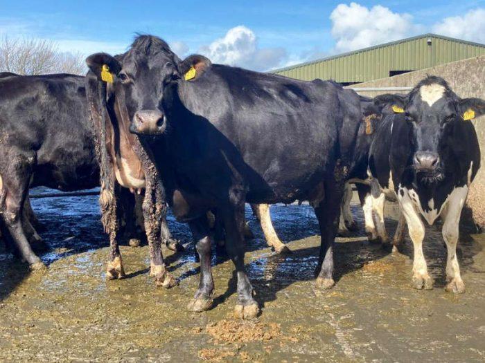 9 JEX In Calf Cows 1