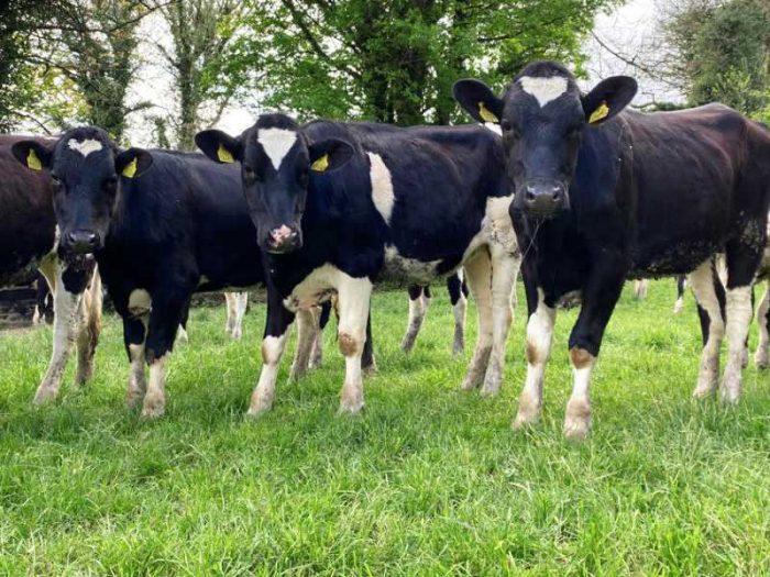 15 Hol/Fr Bulling Heifers 1