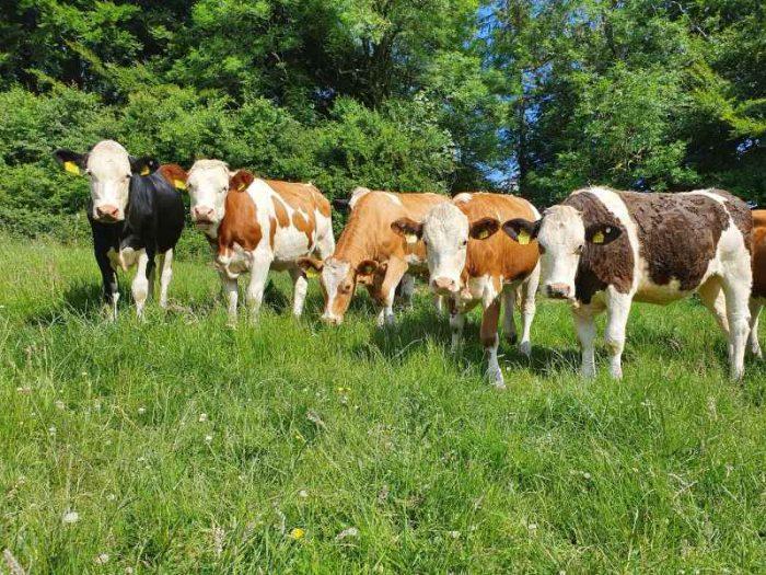 40 Fleckvieh X Hol In Calf Heifers UK 1