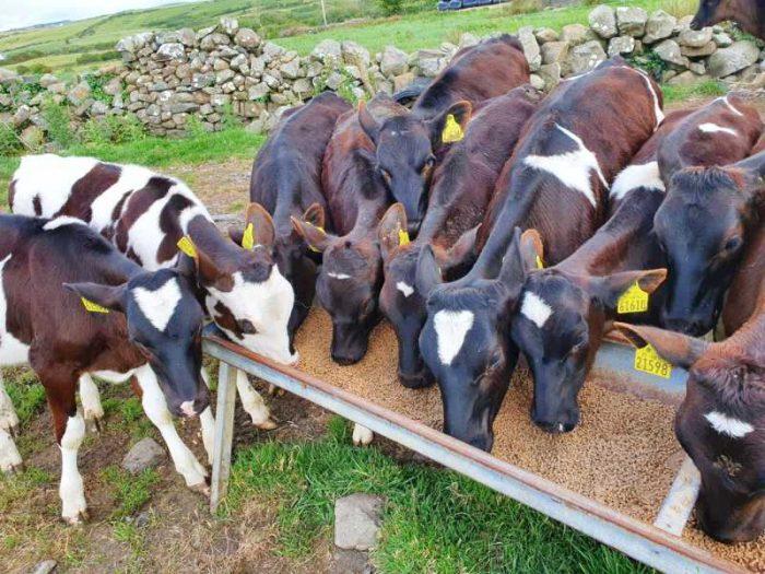 15 Br Irish Fr Calves 1