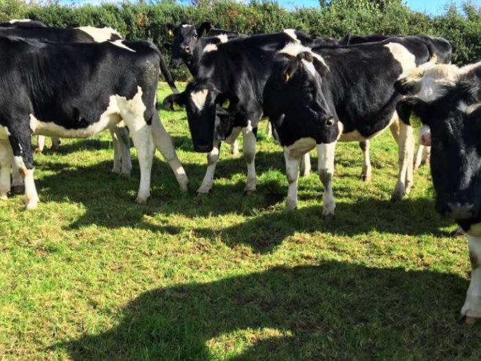 40 Friesian Autumn Bulling Heifers 1